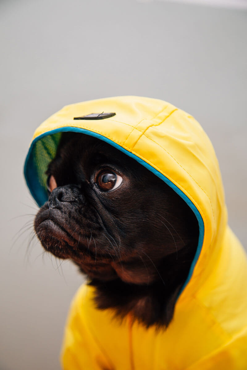 a pug wearing a hoodie